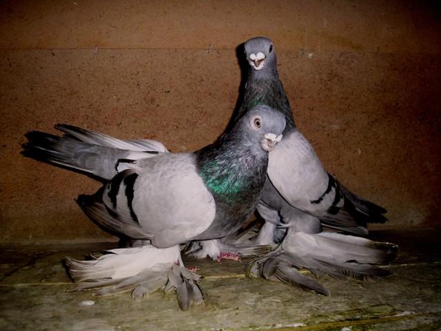Пара Армавирских короткоклювых голубей