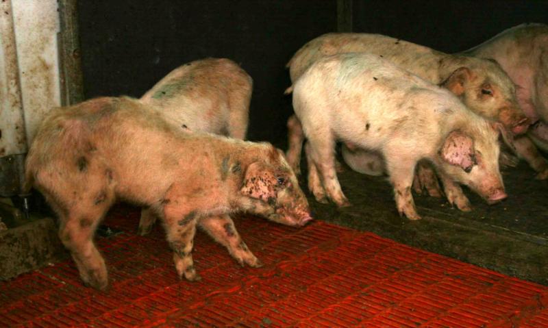 Заразившиеся свинки