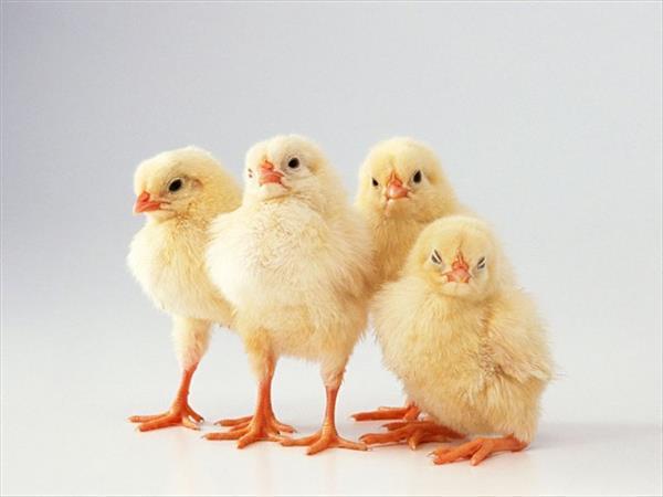 Четыре цыпленка рядом друг с другом