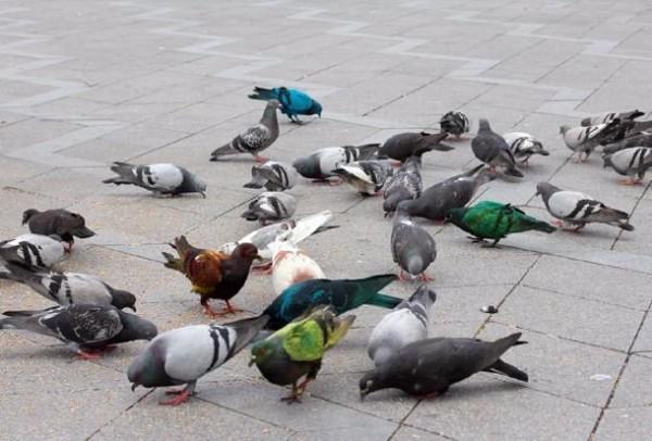 Серые голуби на прогулке