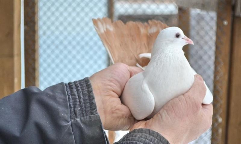 Бакинский бойный голубь в руках у заводчика