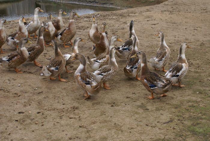 Башкирские уточки вышли гулять к пруду