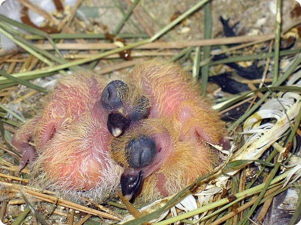 Детеныши голубя в гнезде