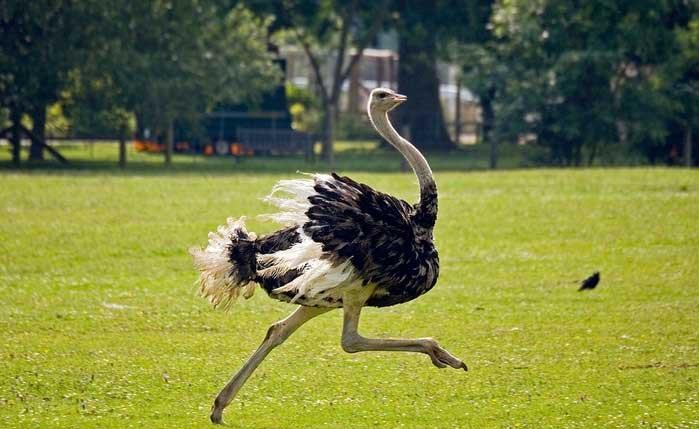 Бегущий по лужайке страус
