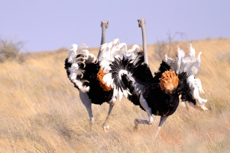 Два Африканских страуса бегут