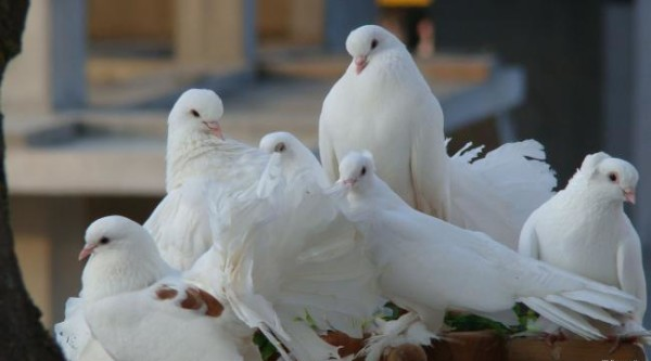Красивые голуби белого окраса