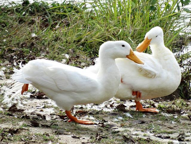 Две белые утки на прогулке