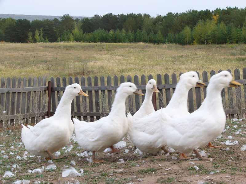 Белые Пекинские утки во дворе