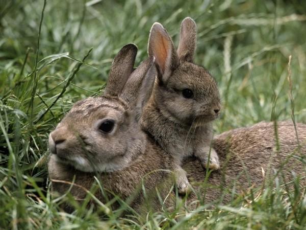 Крольчиха с малышом
