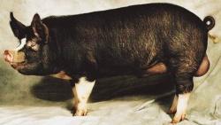 Беркширская порода