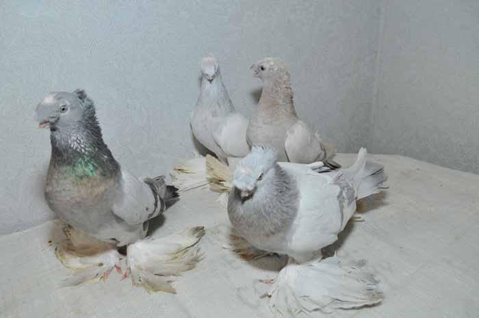 Серо-белые Иранские бойные голуби