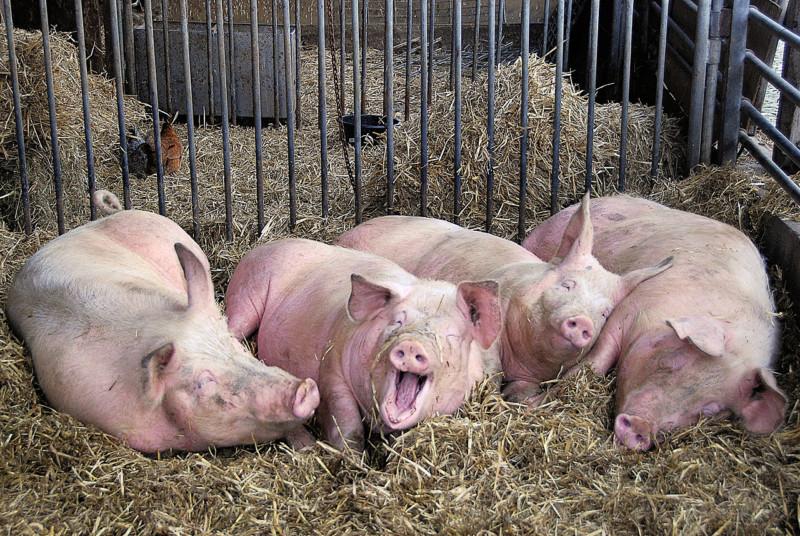 Свинки в загоне