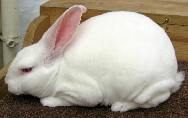 Кролик-альбинос породы рекс