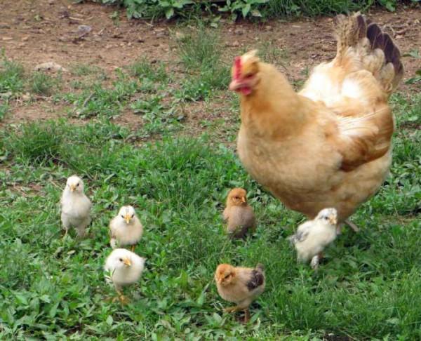 Наседка с цыплятами на улице