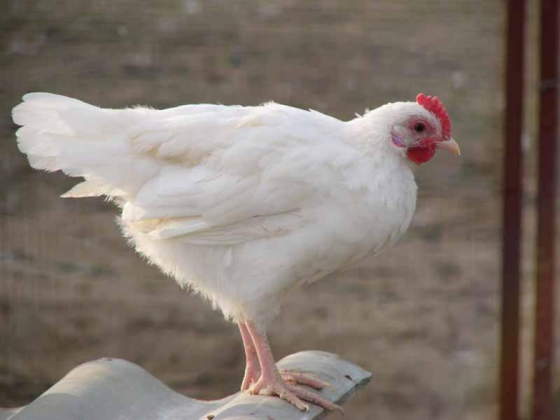 Белая курица несушка стоит на шифере