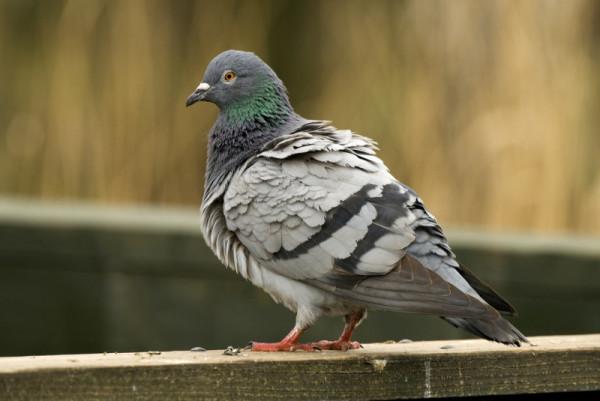 Взъерошенный голубь на заборе