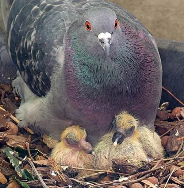 Голубка и два голубенка в гнезде