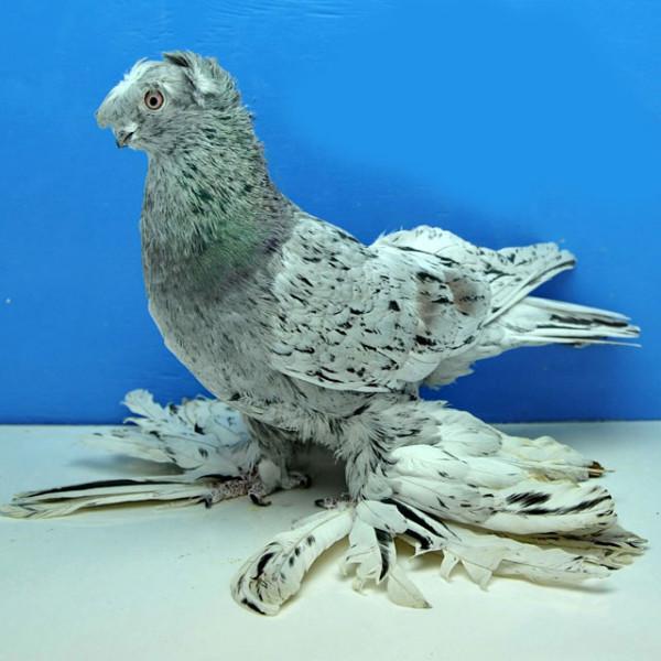 Чубатый голубь