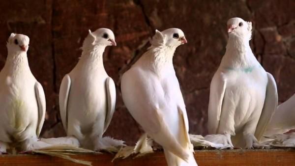 Четыре белых голубя