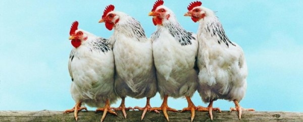 Четыре курицы