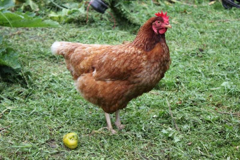 Курица породы Шейвер Браун