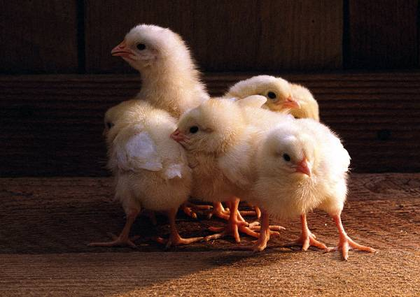Стайка желтых цыплят в курятнике