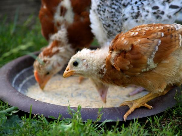Подросшие цыплята едят из кормушки