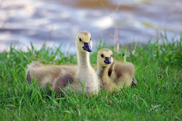 Молодые гусята в траве