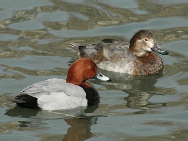 Пара красноголовых уток на озере