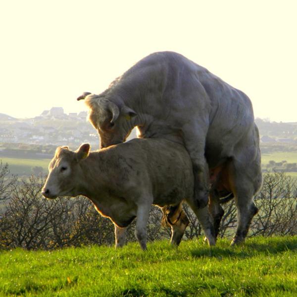 Белый бык и телка на поле