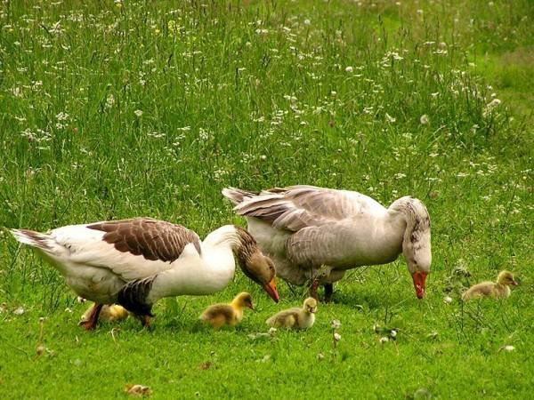 Гусиное семейство с выводком
