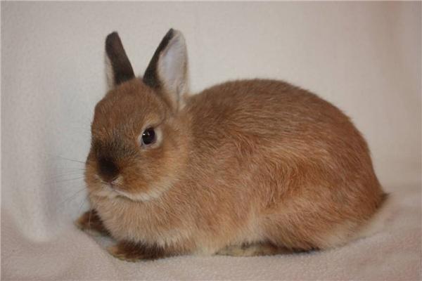 Карликовый декоративный кролик лежит