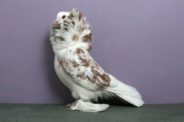Декоративный голубь на сиреневом фоне
