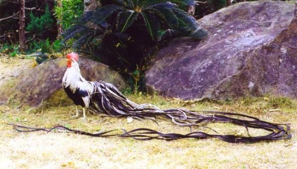 Декоративный петух Феникс