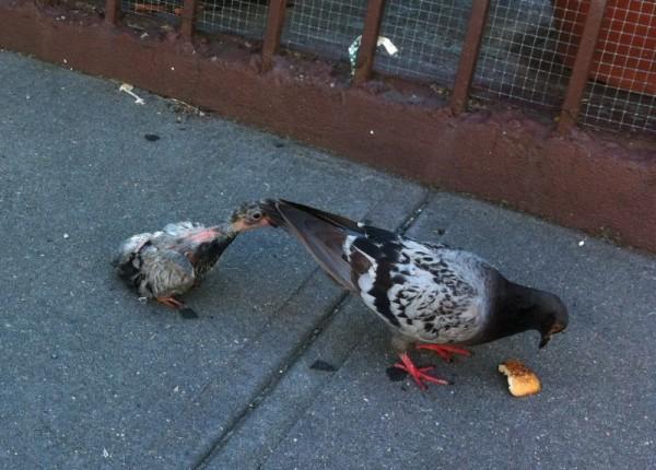 Взрослый голубь со своим птенцом