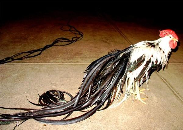 Петух породы Феникс с очень длинным хвостом