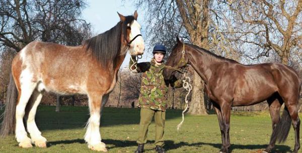 Жеребец Диггер и лошадь обычного размера