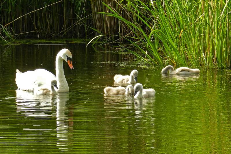 Дикие лебеди на озере