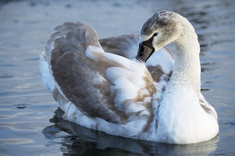 Дикий лебедь на воде крупным планом