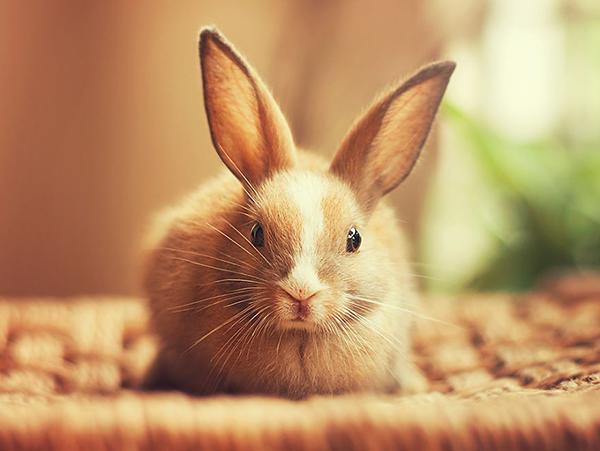 Бежевый кролик лежит на солнце