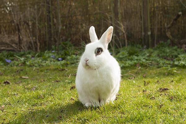 Большой белый кролик