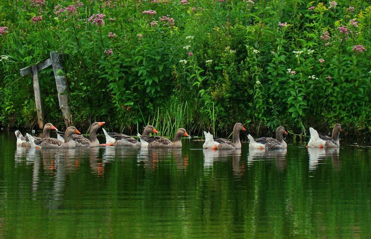 Домашние гуси плавают в водоеме