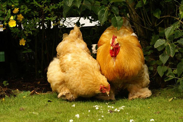 Оранжевые курица и петух Кохинхин