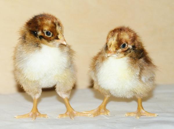 Цыплята породы Барневельдер