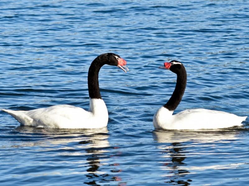 Два черно-белых лебедя на воде
