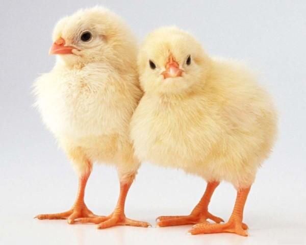 Два цыпленка на светлом фоне