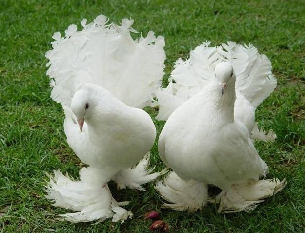 Два белых голубя на траве