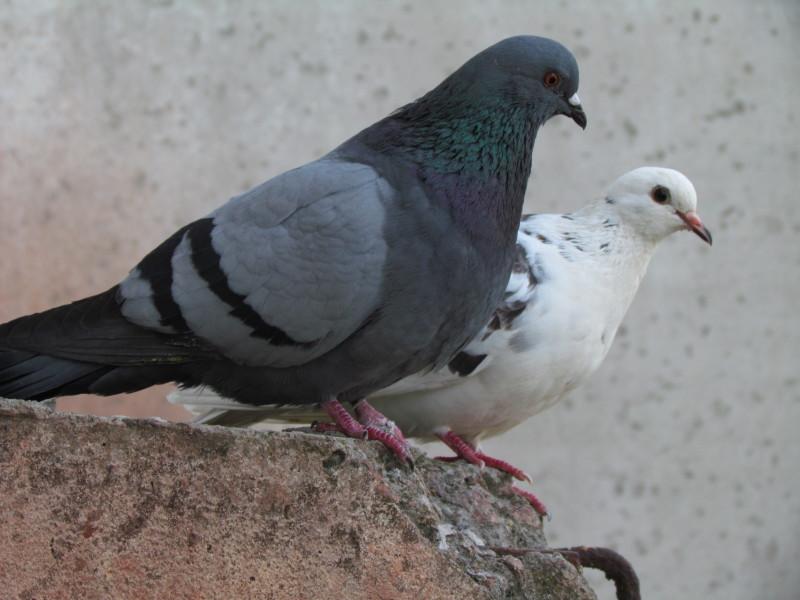 Два голубя сидят на камне
