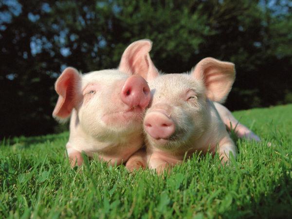 Две довольные свинки