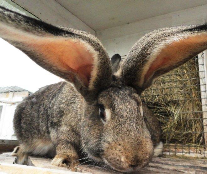 Ризен с большими ушами